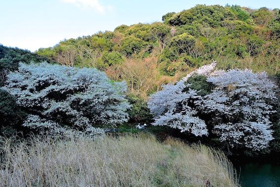 内日林道の双龍桜