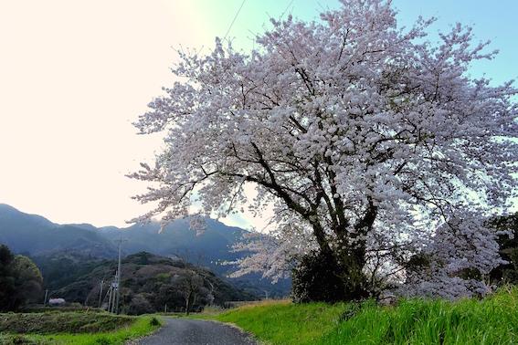 龍泉寺参道の桜