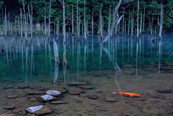 美しい蒼霧鯉池
