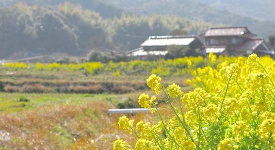七見の菜の花ロード