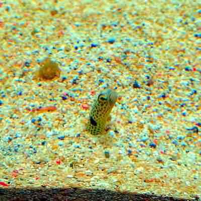 マリンピア松島水族館 チンアナゴ