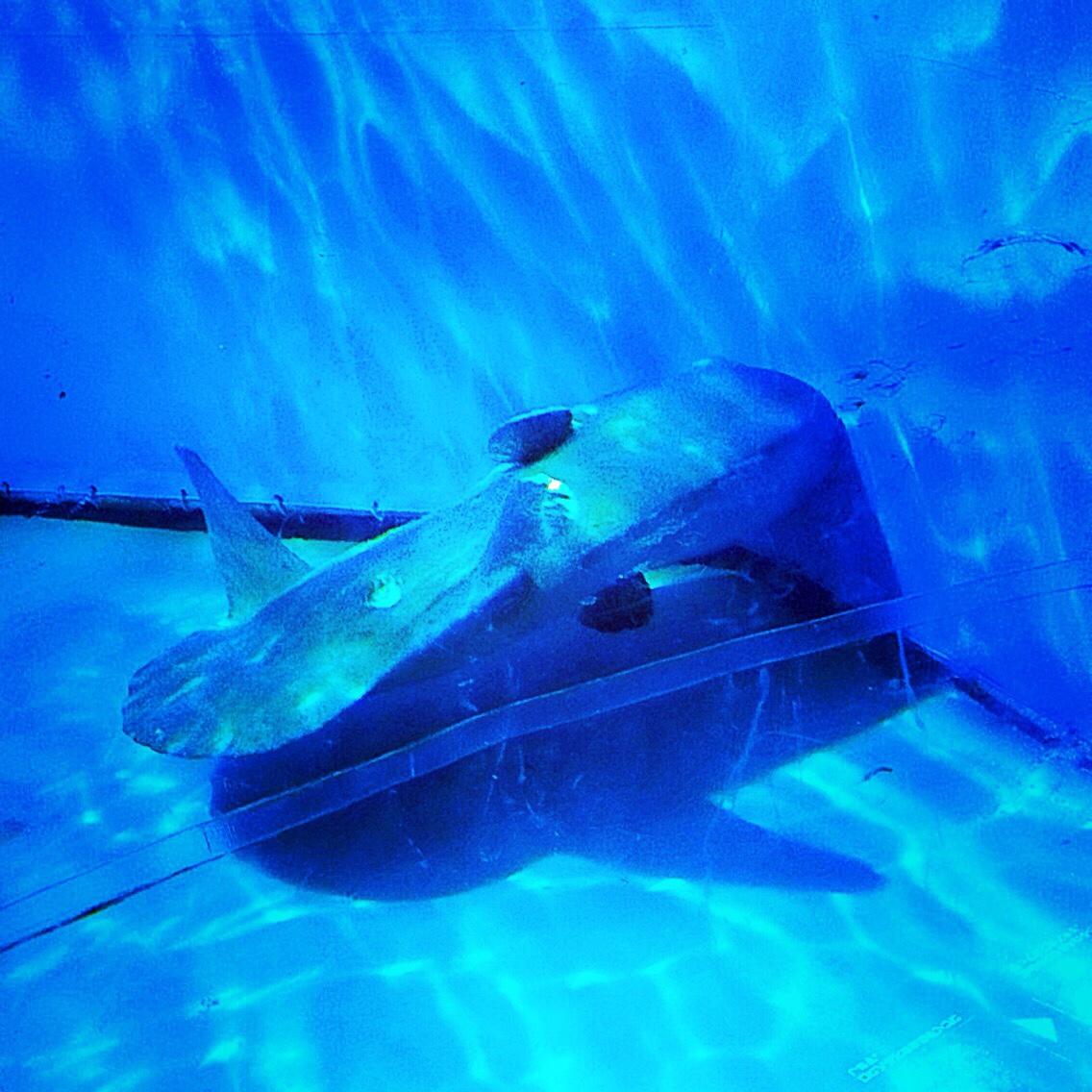 マリンピア松島水族館 マンボウ 横