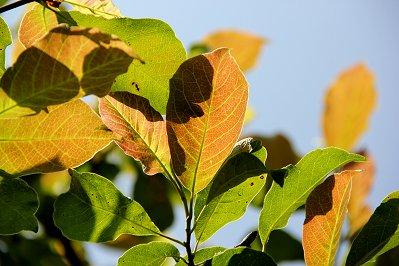 陽に透けるコブシの若葉downsize