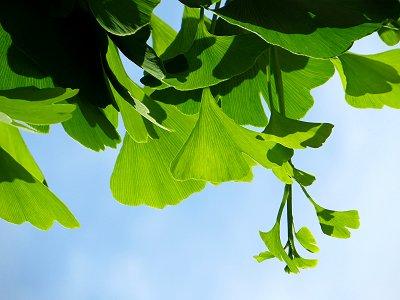 イチョウの若葉が午後の陽に透けるdownsize