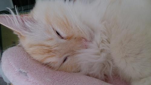 寝顔_白玉猫