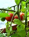 収穫 (1)