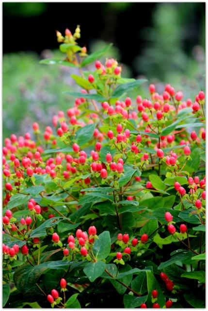 ピペリカム 花の写真