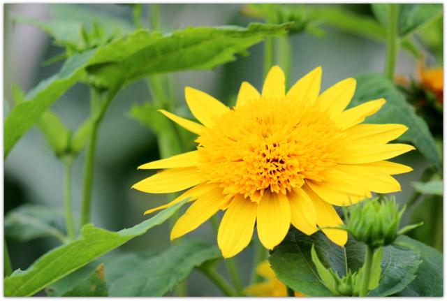 花の写真 ミニヒマワリ