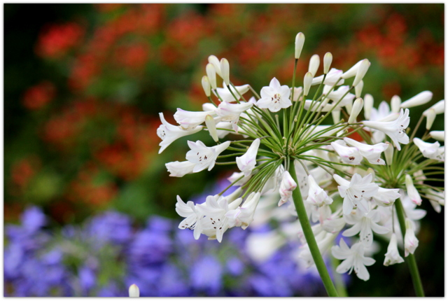 花の写真 アガパンサス