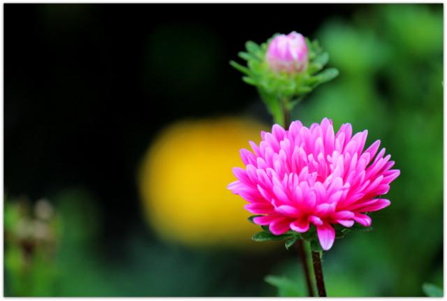 スプレー菊 花の写真