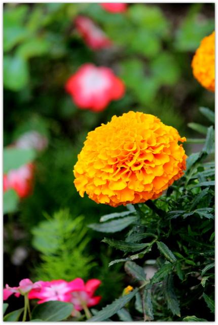 花の写真 マリーゴールド