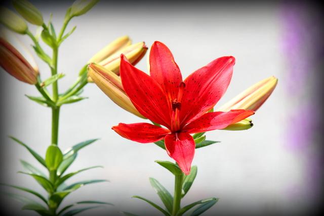 花の写真 ゆり ユリ 百合