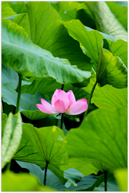 青森県 平川市 尾上 猿賀神社 猿賀公園 蓮の花 観光 トンボ 写真