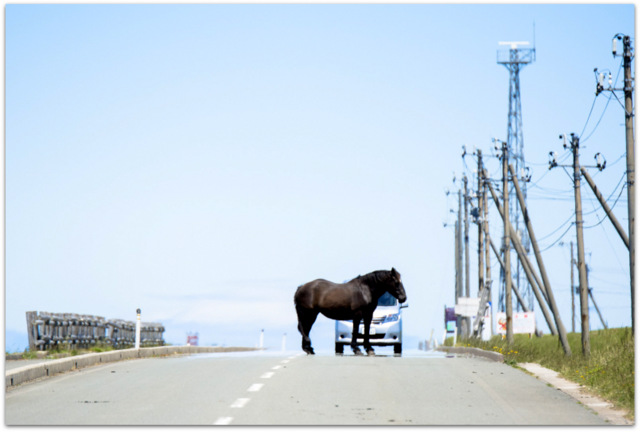 青森県 東通村 下北 尻屋崎 寒立馬 かんだちめ 天然記念物 観光 馬 放牧