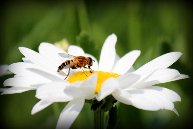 マーガレット 花の写真