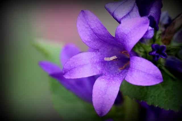 リンドウ 花の写真