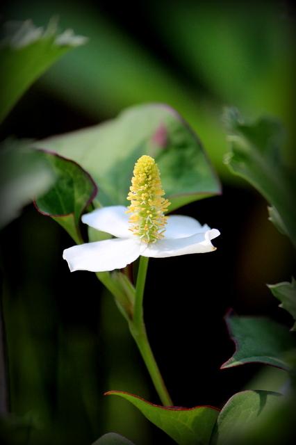 どくだみ 花の写真
