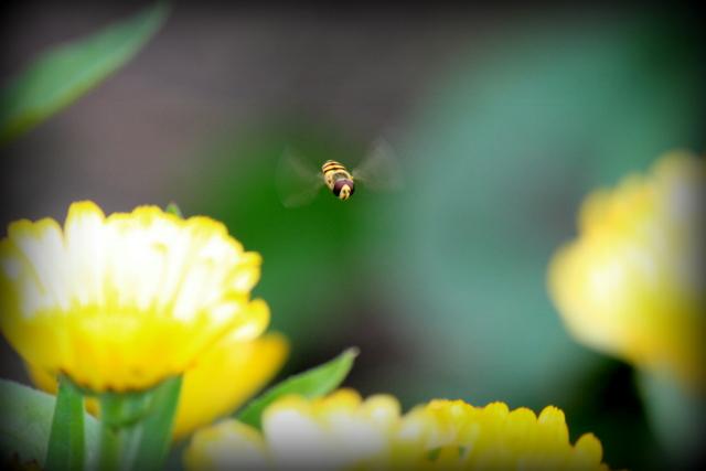 キンセンカ 花の写真