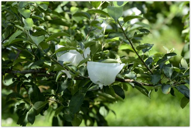 青森県 弘前市 リンゴ畑