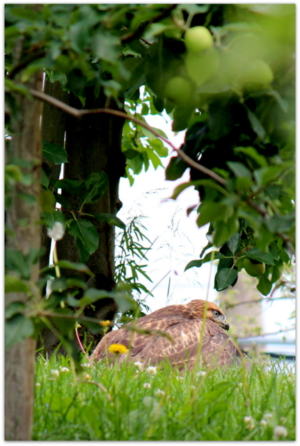 青森県 弘前市 野鳥 鳥の写真 猛禽類 ノスリ