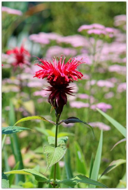 花の写真 モナルダ・ディディマ