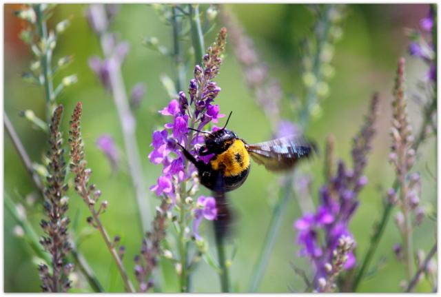 花の写真 リナリア クマバチ