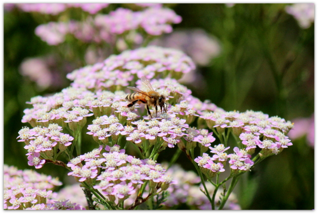 セイヨウノコギリソウ 花の写真 ミツバチ