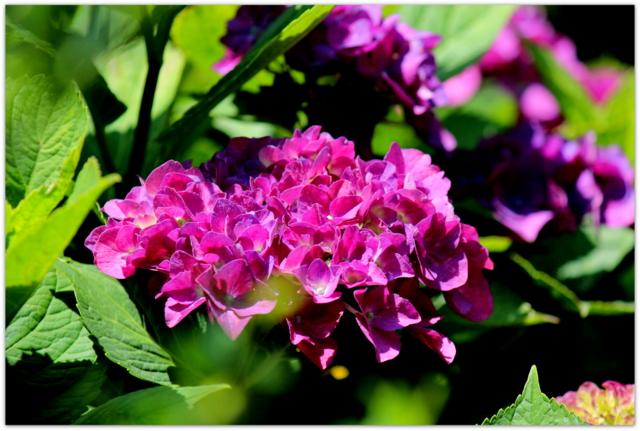 花の写真 アジサイ