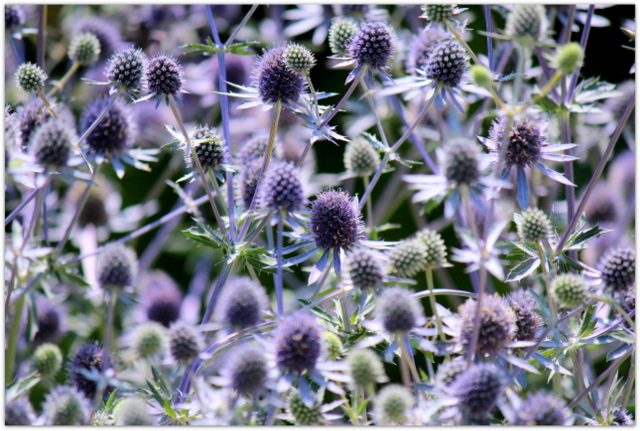 花の写真 エリンジウム・プラナム ミツバチ