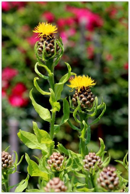 花の写真 黄金矢車菊