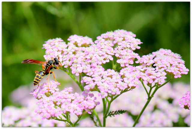 花の写真 セイヨウノコギリソウ スズメバチ