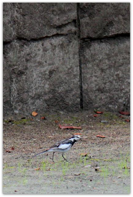 青森県 平川市 猿賀神社 猿賀公園 観光 蓮の花 野鳥 ハクセキレイ