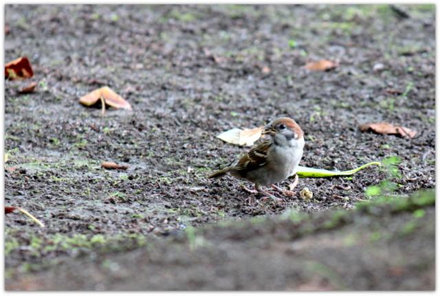 青森県 平川市 猿賀神社 猿賀公園 観光 蓮の花 野鳥 スズメ