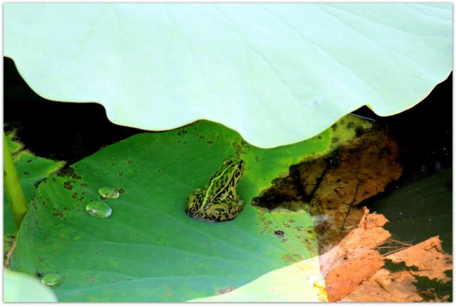 青森県 平川市 猿賀神社 猿賀公園 観光 蓮の花 トノサマガエル