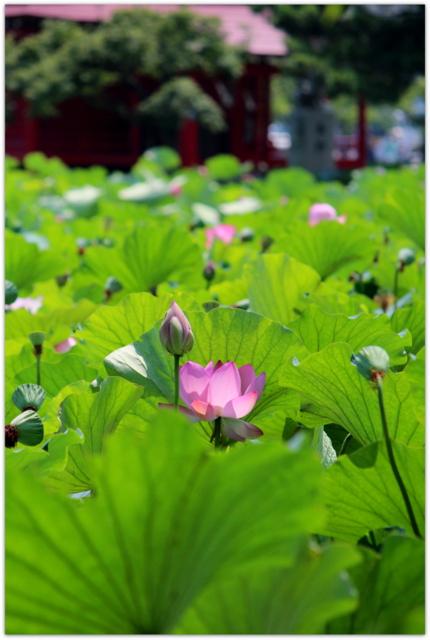 青森県 平川市 猿賀神社 猿賀公園 観光 蓮の花