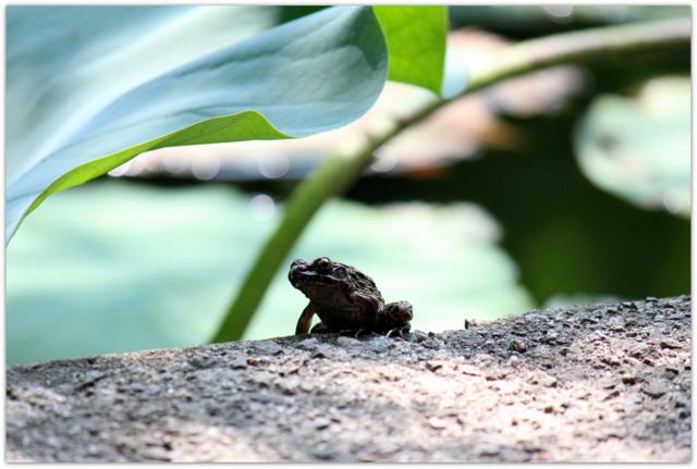 青森県 平川市 猿賀神社 猿賀公園 観光 蓮の花 ツチガエル