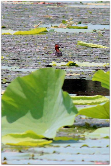 青森県 平川市 猿賀神社 猿賀公園 観光 蓮の花 カイツブリ