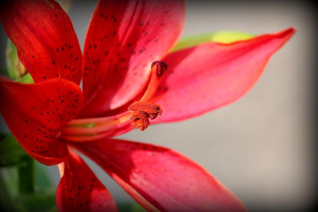 ゆり 百合 ユリ 花の写真
