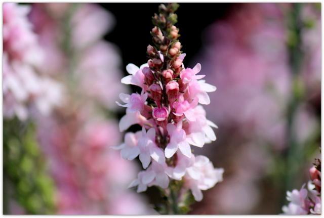 花の写真 リナリア