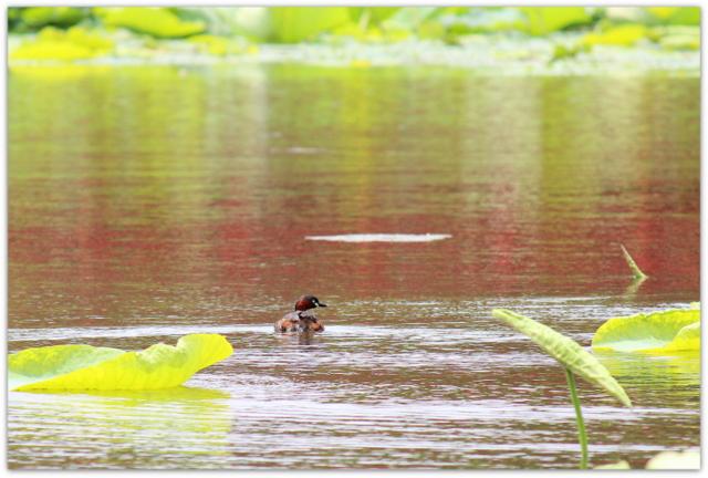 青森県 平川市 尾上 猿賀神社 猿賀公園 蓮の花 観光 トンボ 写真 しおからトンボ バン 野鳥 カイツブリ 水鳥