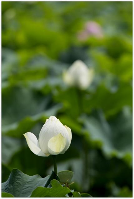 青森県 弘前市 曹洞宗 津軽 革秀寺 蓮の花 観光 お寺 蓮 トンボ 白い蓮の花