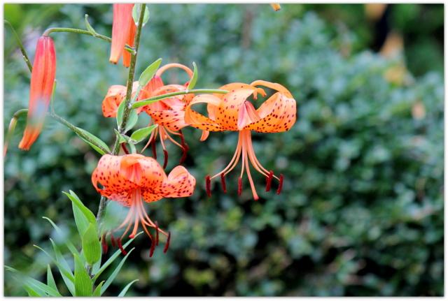 花の写真 オニユリ