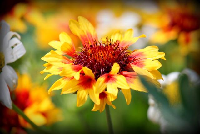 オオテンニンギク 花の写真