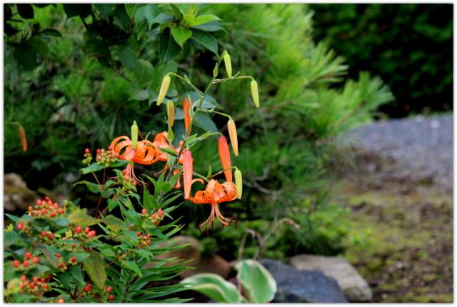 オニユリ 花の写真