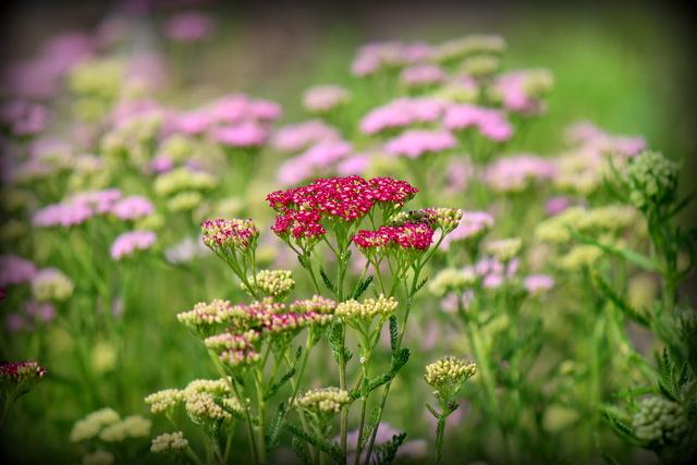 セイヨウノコギリソウ 花の写真