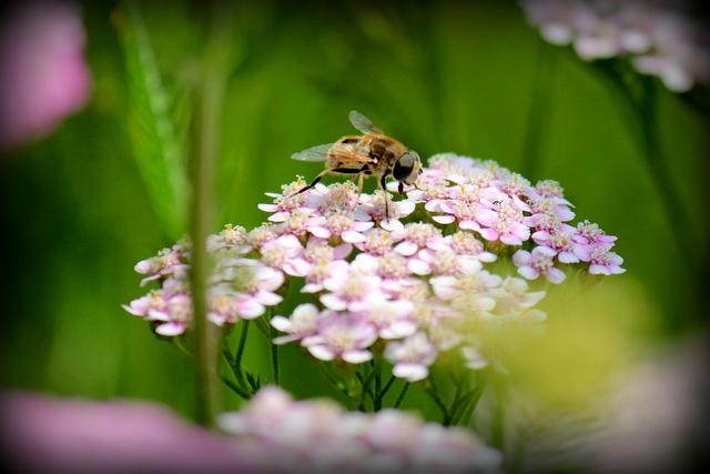 花の写真 セイヨウノコギリソウ