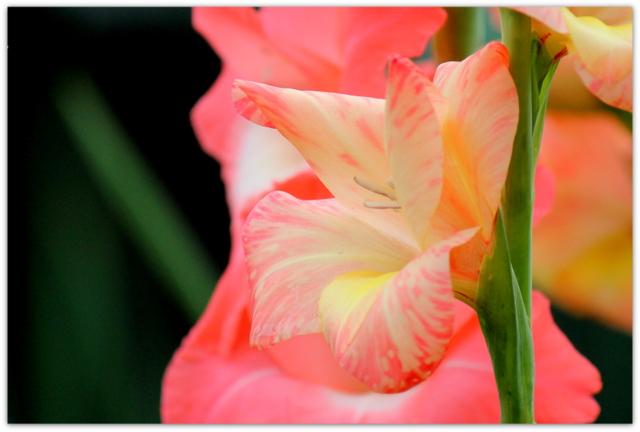 花の写真 グラジオラス