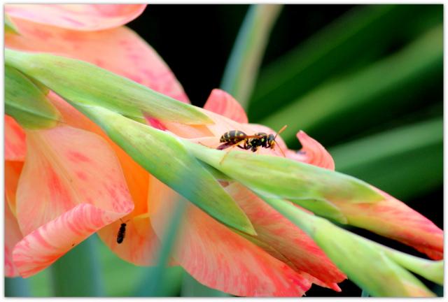 グラジオラス 花の写真