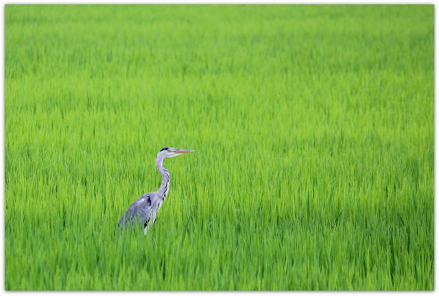 野鳥 アオサギ 青鷺 鳥 写真 田んぼ 稲 田園