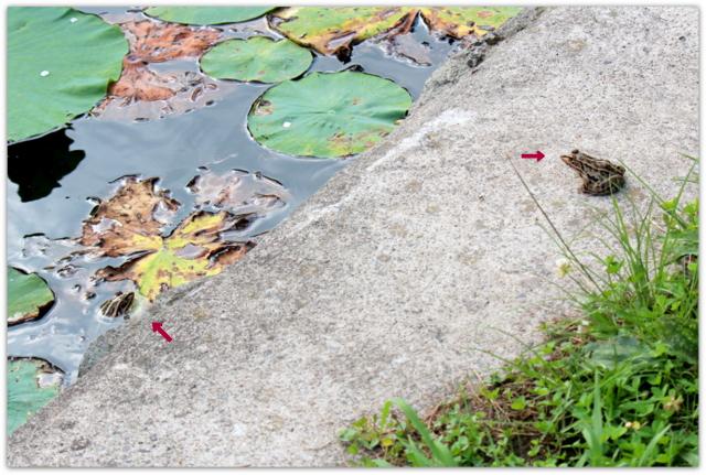 青森県 平川市 猿賀神社 猿賀公園 蓮の花 観光 野鳥 水鳥 カイツブリ カルガモ トノサマガエル アオイトトンボ 写真